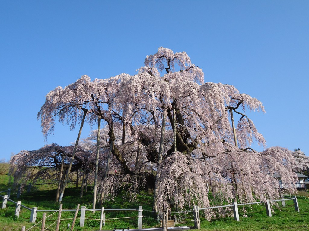 滝桜 (13)