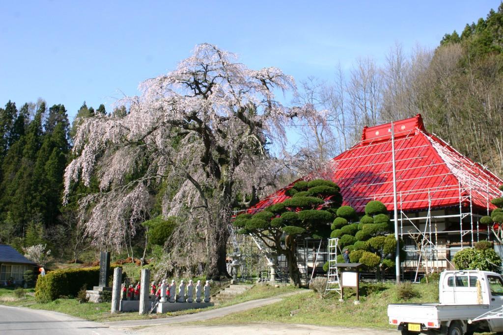 松岳寺のしだれ桜