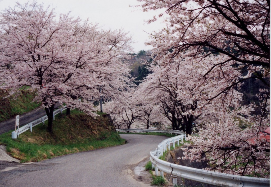 強梨の桜並木