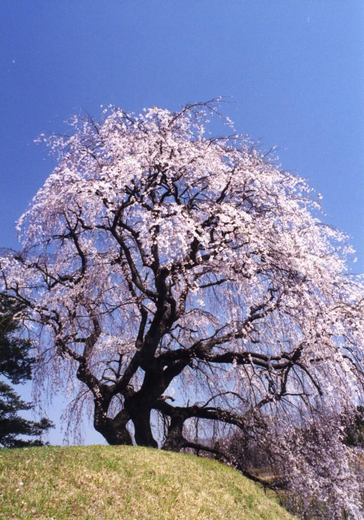 蛇森塚のしだれ桜