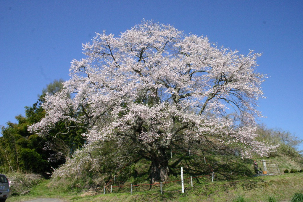 是哉寺地蔵桜