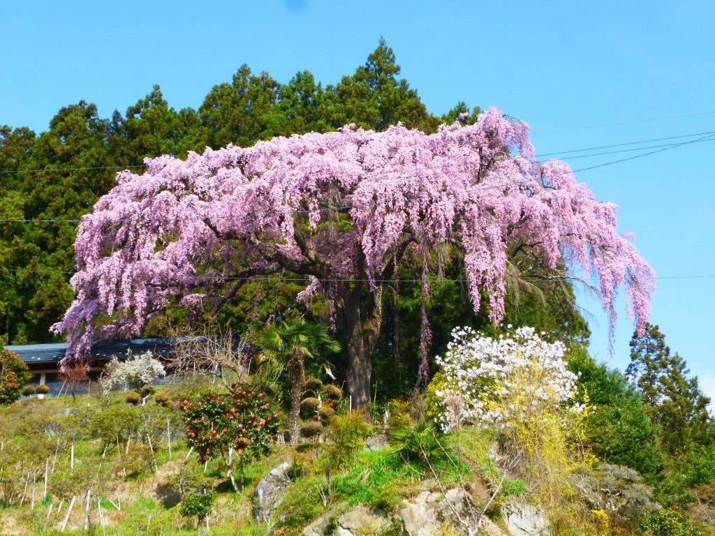 仲森の紅しだれ桜