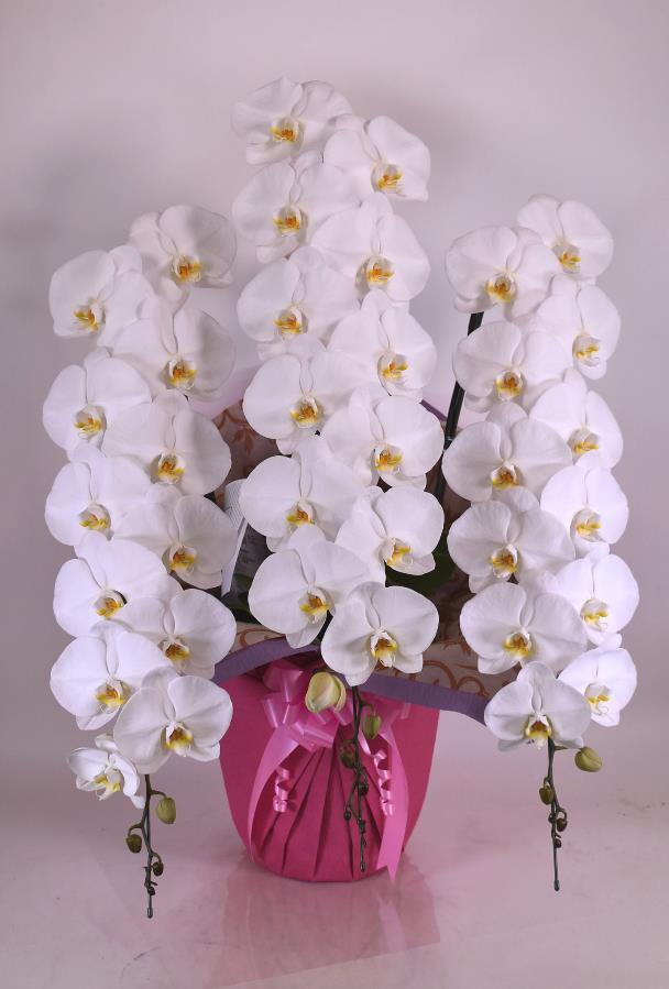 (9)胡蝶蘭