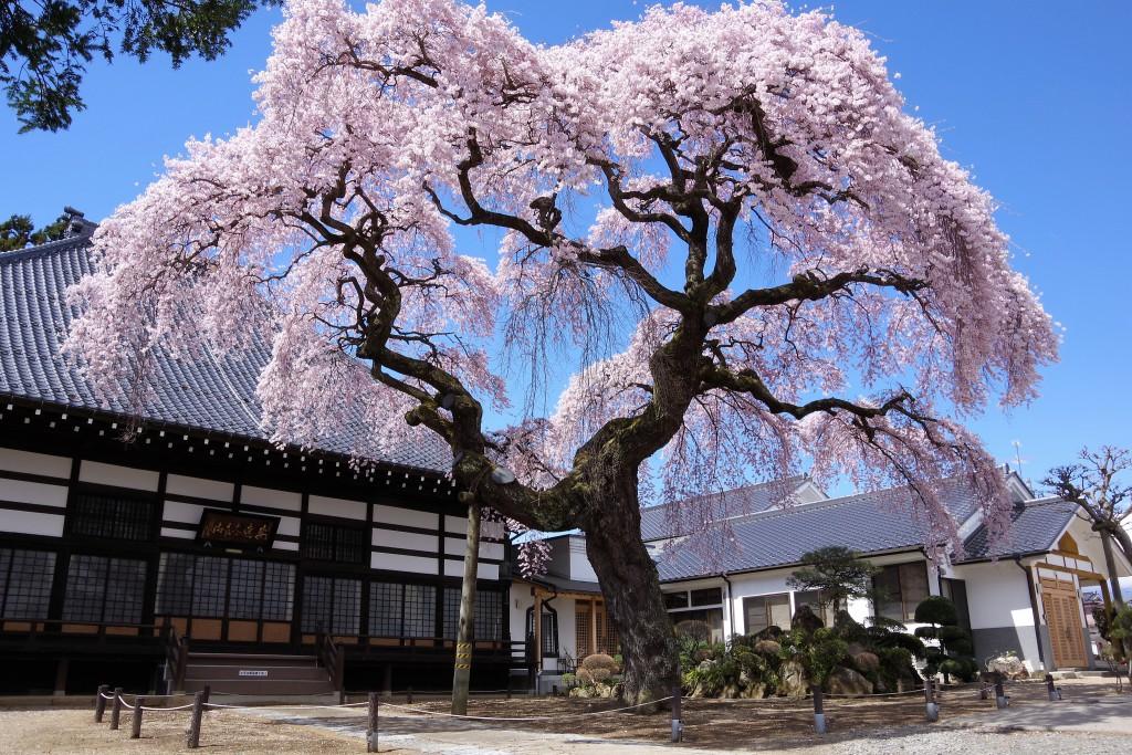 相応寺しだれ桜