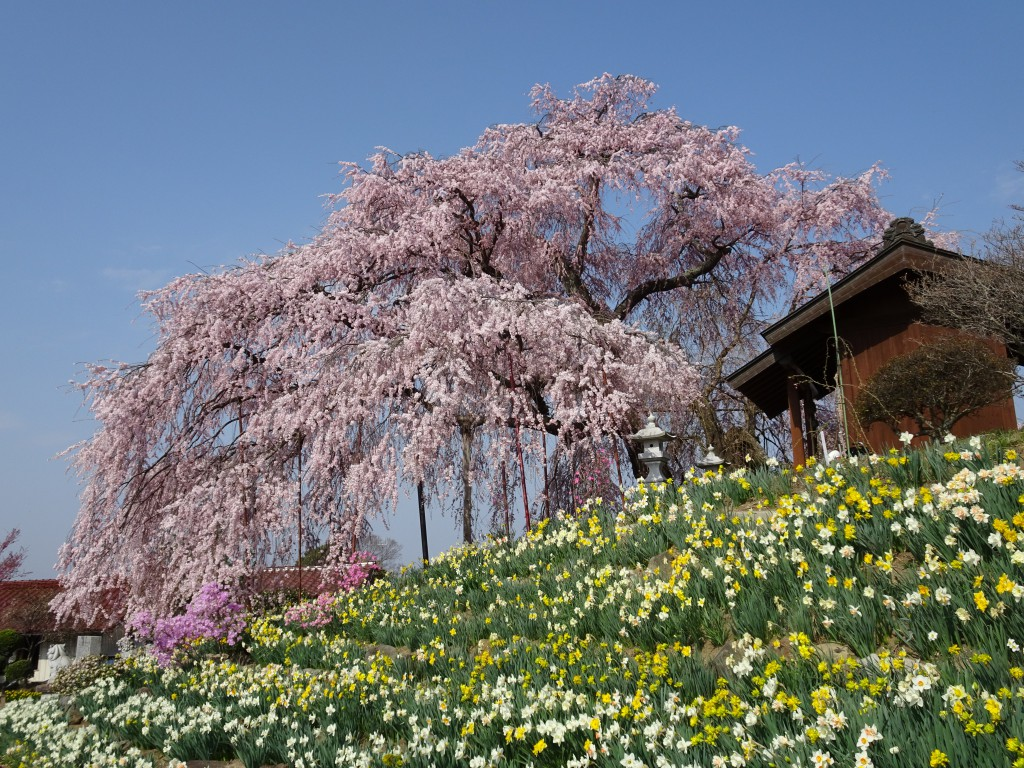 金毘羅桜 (1)