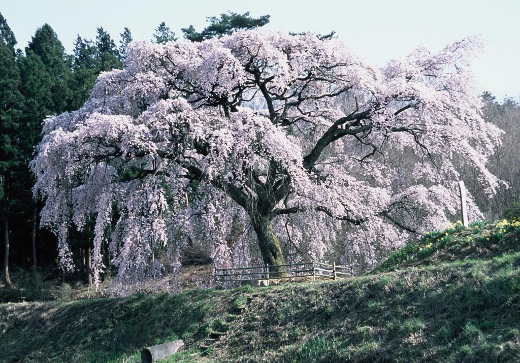 housuinosakura