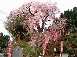 龍光寺の桜