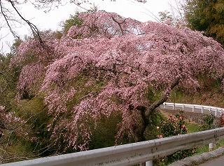荒神社の桜