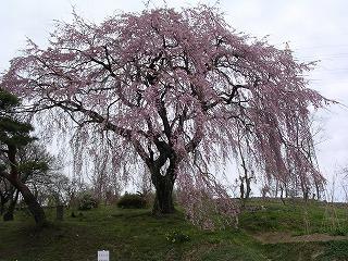 中井田の桜